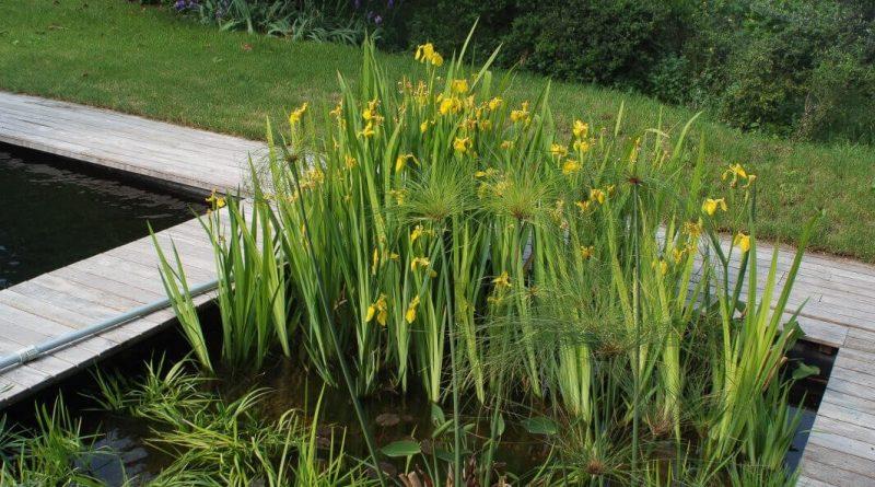 zwemvijver planten